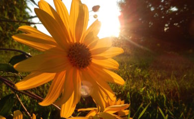 flowers backlit by sunset